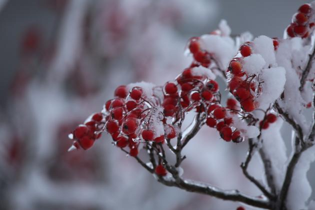 The berries of a Hawthorn tree are encased in ice and capped with a layer of snow as a result of the winter storm that passed through the area over the New Year's weekend. (Photo by Brian DeLoche)
